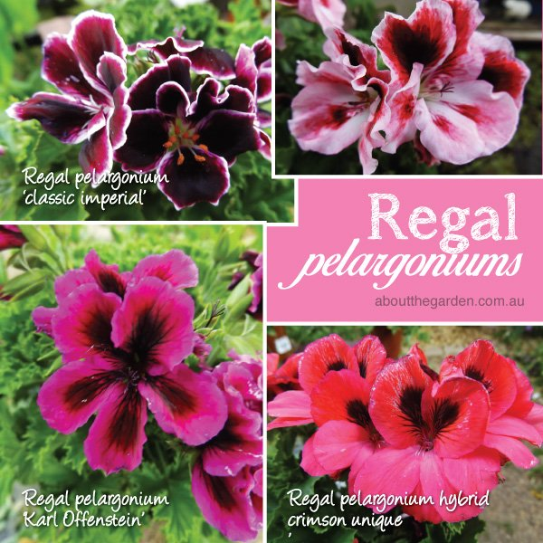 Regal Pelargoniums varieties in Australia #aboutthegardenmagazin
