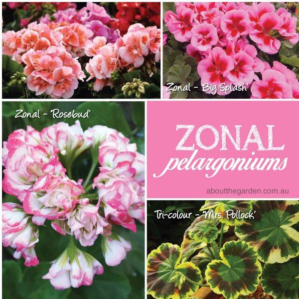 Zonal Pelargoniums varieties in Australia #aboutthegardenmagazin