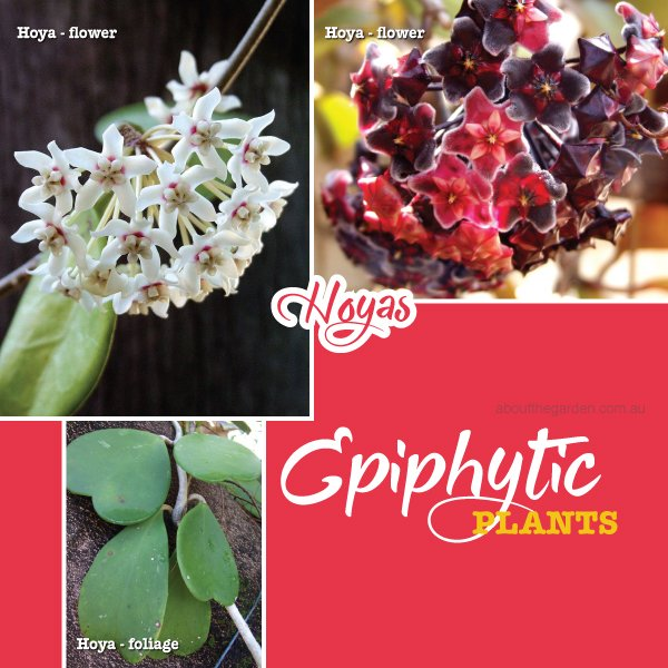 Epiphytic plants Hoyas in Australia #aboutthegardenmagazine