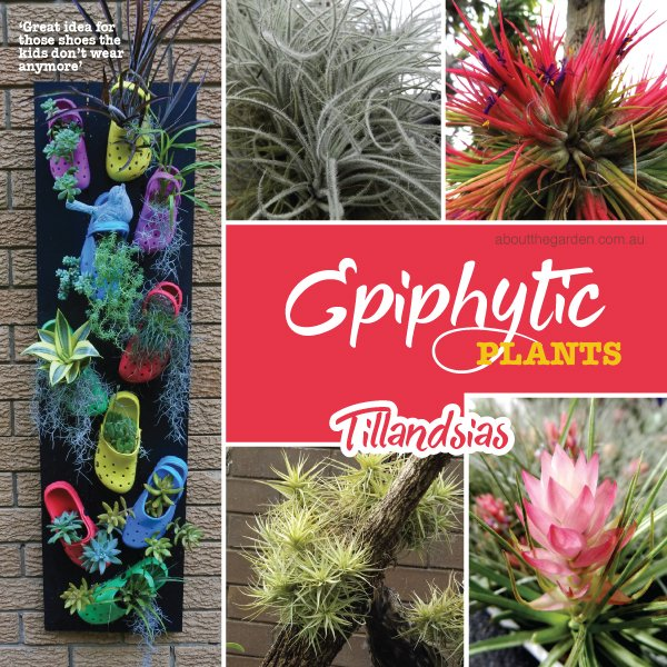 Epiphytic plants in Australia #aboutthegardenmagazine.indd