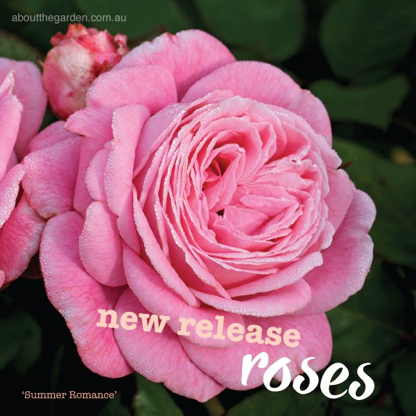 New Release 2017 Roses for winter in Australia #aboutthegardenma