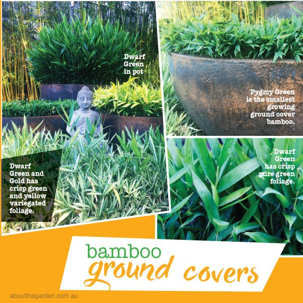 Bamboo ground cover in Australia #aboutthegardenmagazine.indd