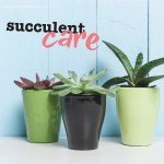 Succulent plant care in Australia #aboutthegardenmagazine.indd