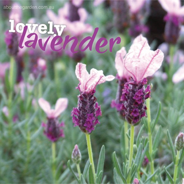Growing and planting lavender in Australia #aboutthegardenmagazi