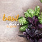 Basil varieties to grow in Australia #aboutthegardenmagazine.ind