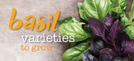 Basil varieties to grow