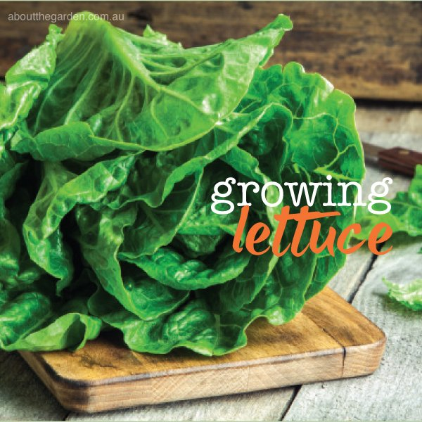 Growing and planting lettuce in Australia #aboutthegardenmagazin