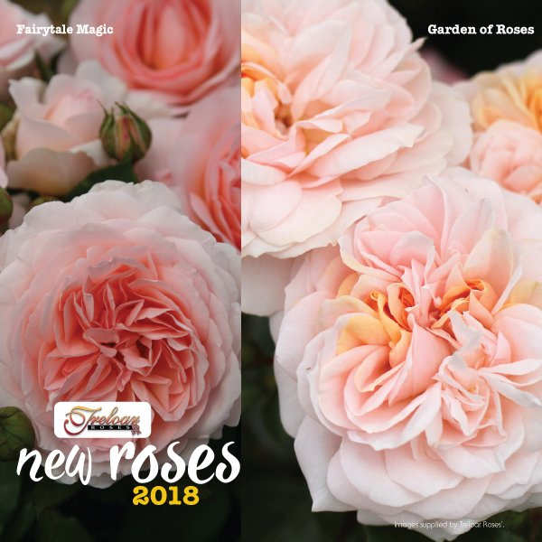 New Release 2018 Roses for winter planting in Australia #aboutth