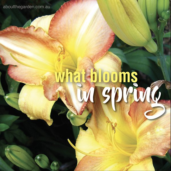Spring flowering plants for Australian Gardens #aboutthegardenmagazine-Daylily