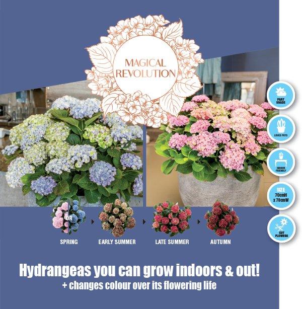 Hydrangea flowers EDM.indd