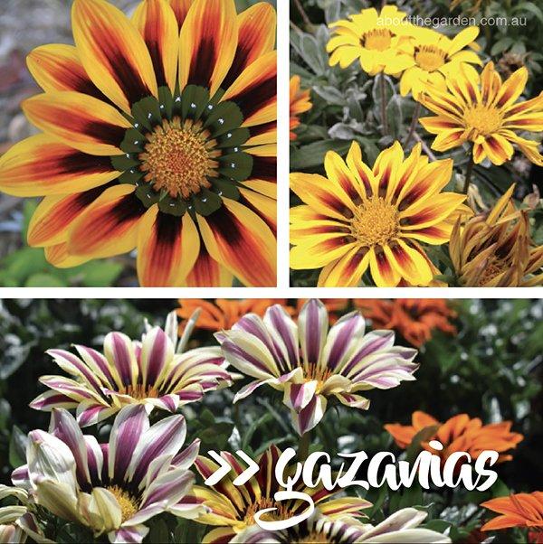 Types of daisies in Australia - Daisy varieties - Gazania daisy #aboutthegardenmagazine-4