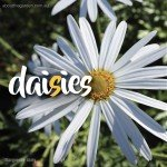 Types of daisies in Australia - Daisy varieties - Marguerite daisy #aboutthegardenmagazine-1
