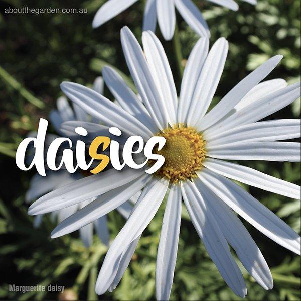 Types of daisies in Australia - Daisy varieties - Marguerite daisy #aboutthegardenmagazine-1