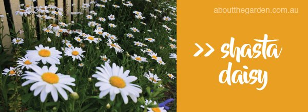 Types of daisy varieties in Australia #aboutthegardenmagazine.in