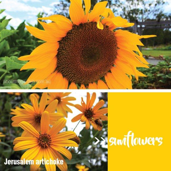 Types of daisy varieties in Australia #aboutthegardenmagazine.in