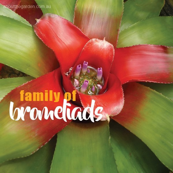 Planting And Growing Bromeliads Bromeliad Types About The