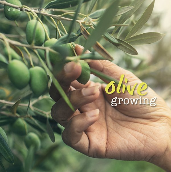 Growing Olives In Australia About The Garden Magazine