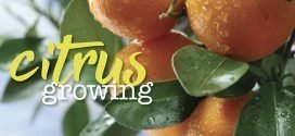Growing Citrus Trees – oranges, limes and lemons