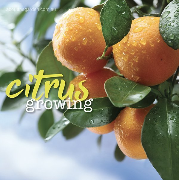 Growing Citrus Trees Oranges Limes And Lemons About The Garden Magazine