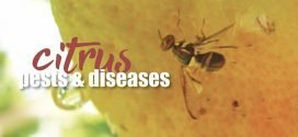 Citrus tree pests and diseases