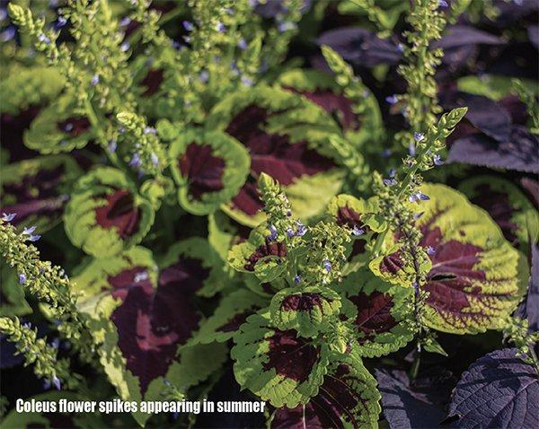 Growing Coleus About The Garden Magazine